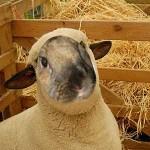 BunnyJeanCook the sheep