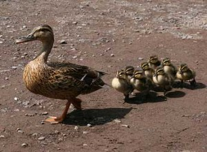 Momma Duck and Duckling Babies